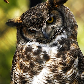 by Brandi Nichols - Animals Birds ( great horned owl bird yellowstone national park montana wyoming nature wildlife bird of prey )