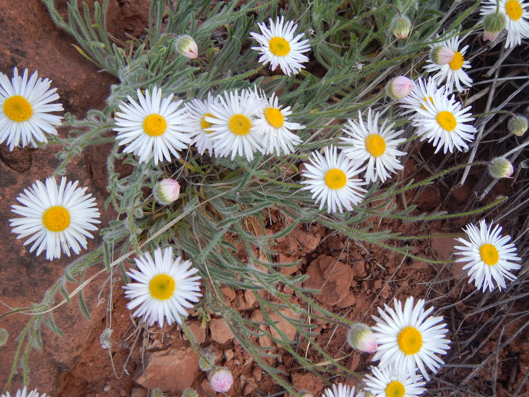 Photo: Daisies in the desert