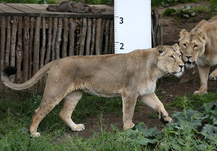 Lions stand by a large ruler during photo-call for the annual weigh-in at London Zoo. File picture: REUTERS/NEIL HALL