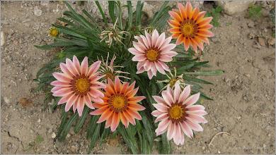 Photo: Floarea comoară, Gazania-margaretă (Gazania spp)  din Turda, Str. Salinelor, Nr.15, in curte - 2019.09.23