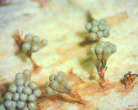 Photo: Metatrichia vesparium