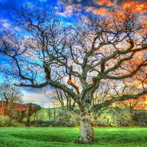 Oak tree._1.jpg