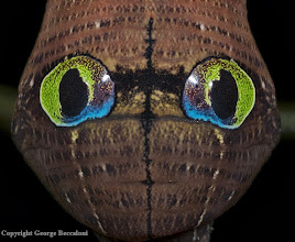 Photo: Eyespots of hawkmoth caterpillar (Cechenena helops helops). Bako National Park, Sarawak. 2009. Copyright George Beccaloni