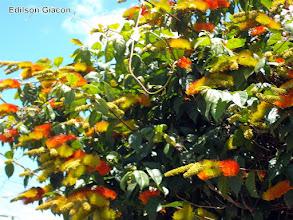 Photo: Escova de Macaco Laranja ( Combretum fruticosum )  Trepadeira muito atrativa para Beija-Flores, suas sementes são muito ornamentais, no formato de pequenas Carambolas, com algumas podas pode ser conduzida como arbusto.