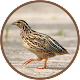 Quail Bird Sounds (app)