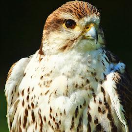 Pretty falcon by Gérard CHATENET - Animals Birds