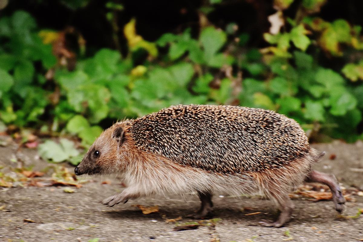 hedgehogs insummer