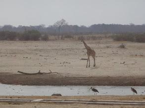 Photo: Giraffe approaching the waterhole