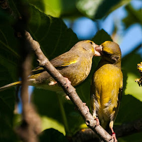 Verdilhões by José Vieira - Animals Birds