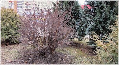 Photo: ? - Fizocarpul roșu Diabolo (Physocarpus opulifolius Diabolo) - de pe Calea Victoriei, Mr.2, spatiu verde - 2017.02.21