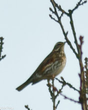 Photo: Redwing