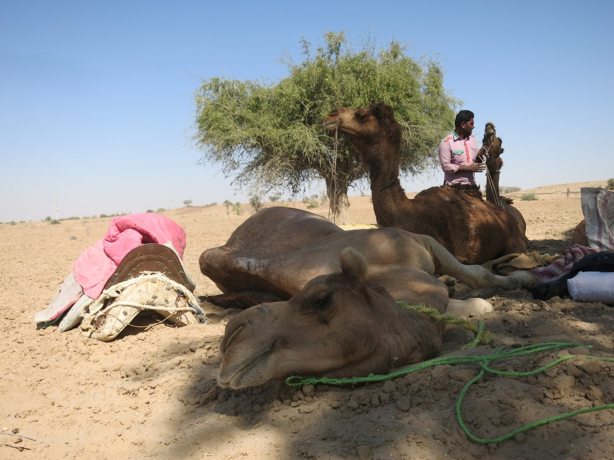 India. Rajasthan Thar Desert Camel Trek. Lunch break for everyone - it's camel time too!