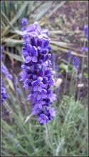 Photo: Lavandă (Lavandula  augustifolia) - de pe Calea Victoriei, Mr.2, spatiu verde - 2017.06.17