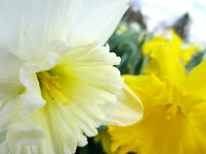 Photo: A white daffodil and a yellow daffodil at Cox Arboretum in Dayton, Ohio.