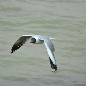 Black Headed Sea Gull by Chirag Gupta - Animals Birds ( bird, seagull, white, sea, gulls )