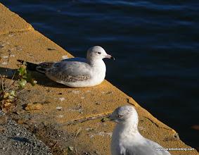 Photo: Adult and immature Ring-billed Gulls, Lake Merritt.