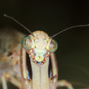 Mantis lacewing