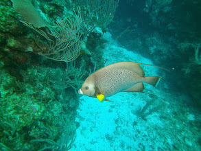 Photo: Grey Angelfish