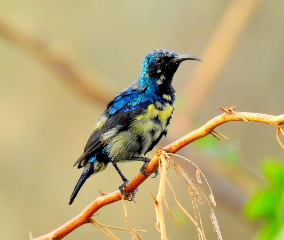 Purple sunbird- Male (eclipse plumage)