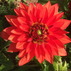 Dahlia by Debbie Squier-Bernst - Flowers Single Flower (  )