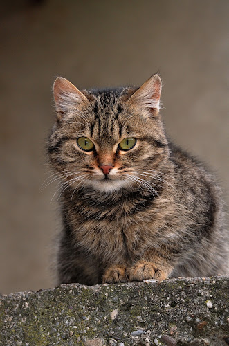 by Dragutin Vrbanec - Animals - Cats Portraits