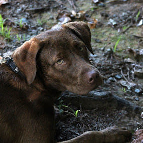 Who me? by Stacey Fields - Animals - Dogs Portraits ( mocha, relaxed, dog, river )