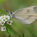Blanca esbelta (Wood white)
