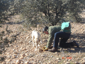 Photo: Looking for Truffles with specially trained dogs. More information: http://blacktruffles.blogspot.com/p/what-is-truffle.html