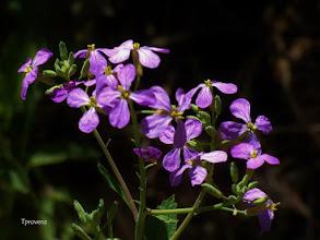 Photo: Purple Mustard Tony Provenzano