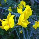 Weaver's broom