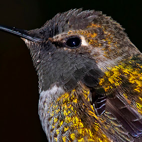 Sitting in the Rain by Sparty Rodgers - Animals Birds ( anna's hummingbird, avian species, nikon d800, hummingbird, photoshop, western washington state )