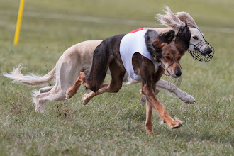 Photo: Coursing, Saluki, Spitzerberg