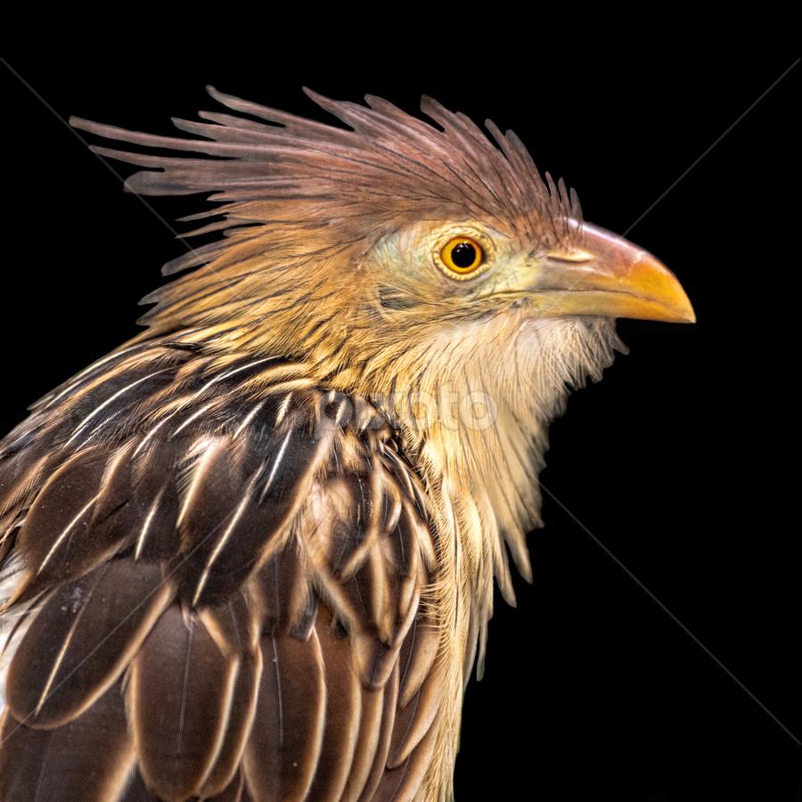 by Judy Rosanno - Animals Birds ( guira cuckoo, august 2018, san antonio zoo,  )
