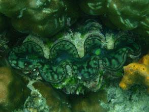 Photo: Tridacna maxima, Giant Clam, Siquijor Island, Philippines