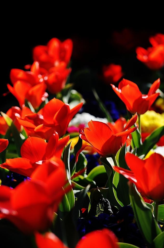 Rosso in fiore di jappone