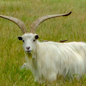Rove goat by Philippe Smith-Smith - Animals Other Mammals ( field, grass, rove goat, animal, goat )