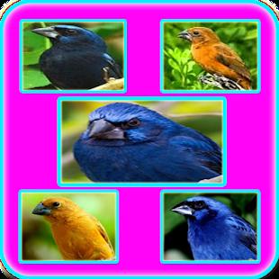 Canto Fêmea de Azulão - náhled