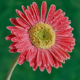 Pink Gerbera  by Jim Downey - Flowers Single Flower ( yelow, pink, green, single flower, gerbera )