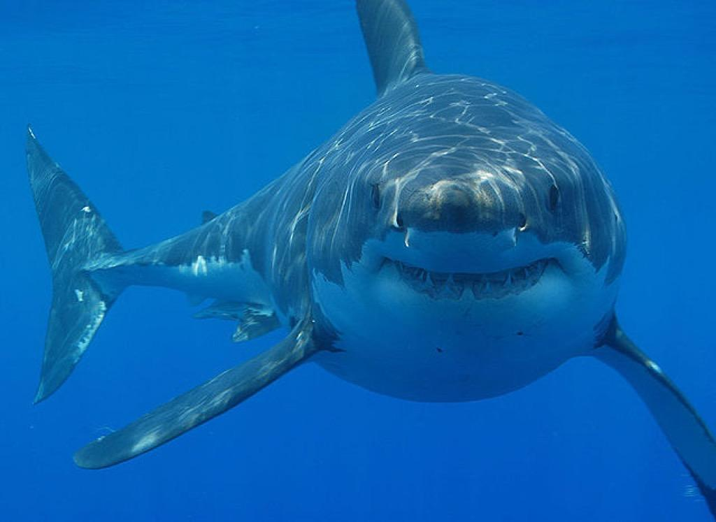 cute great white shark - photo #16
