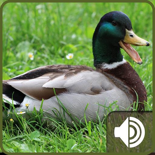 Duck Sounds