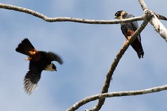 Photo: Bat Falcon (Fledermausfalke); Kuhunlich, QR