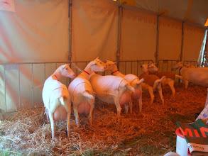 Photo: Aankomst van de geiten in de tent waar de geitenkeuring zal worden gehouden tijdens de SLF dagen in Almkerk.
