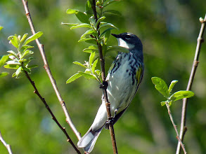 Photo: Yellow-rumped Warbler