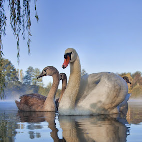 Swans by Albin Bezjak - Animals Birds ( water, swan, lake )