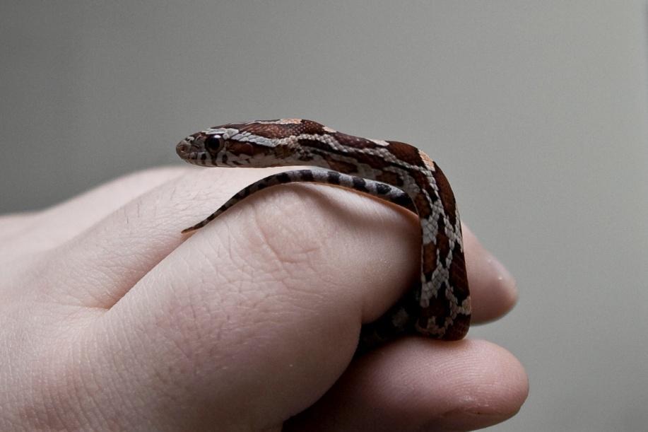 Hatchling Corn Snake Being Handled