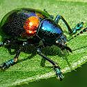 Corrugated leaf beetle  波紋扁角葉甲