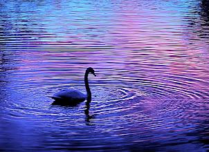 Photo: Swan by: Joyce Manning - USA