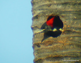 "Photo: Lineated Woodpecker; nesting in a plam tree in ""downtown"" San Blas"