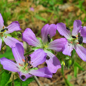 Sweet Geraniums!  by Dustin VanHoose - Flowers Flowers in the Wild ( purple, wildflower, insects, spring, flower,  )