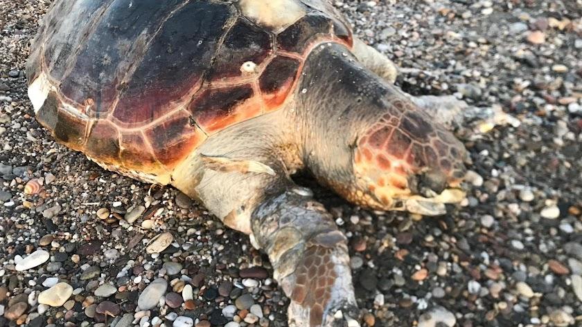 Tortuga boba que apareció muerta en Cabo de Gata.